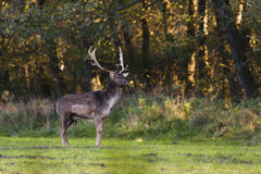 Fallow deer in a meadow Royalty Free Stock Image