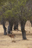 Fallow deer in the meadow with holm oaks. Segovia, Spain Royalty Free Stock Photo