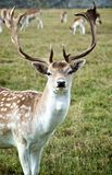 Fallow Deer on Meadow. Portrait of Beautiful Fallow Deer on Autumn Meadow on Blurred Small Deers background Outdoors stock photography