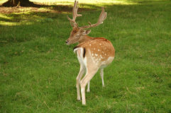 Fallow deer on meadow Royalty Free Stock Image