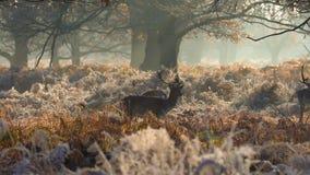Fallow deer stock video