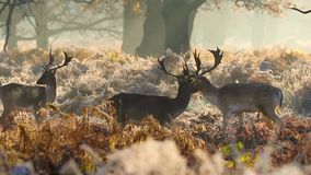 Fallow deer stock footage