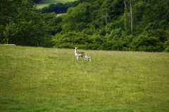 Fallow deer mum & baby fawn stood together. Doe Stock Images