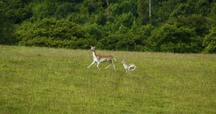 Fallow deer mum & baby fawn together running. Doe & fawn, mum & baby chasing the herd in a green field with woodland behind stock photo