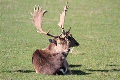 Fallow Deer Stock Photography