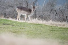 Fallow deer in nature. Fallow deer on a cold winter day Stock Photo