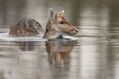 Fallow deer in nature. Fallow deer swimming and standing in water on a cold winter day Royalty Free Stock Photos