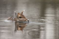 Fallow deer in nature. Fallow deer swimming and standing in water on a cold winter day Royalty Free Stock Image