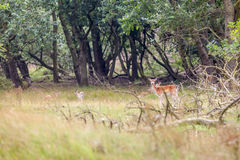 Fallow deer in nature Royalty Free Stock Photos