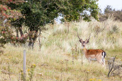 Fallow deer in nature Stock Image
