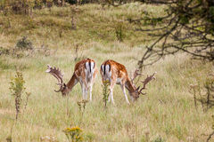 Fallow deer in nature Stock Photo