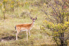Fallow deer in nature Royalty Free Stock Image