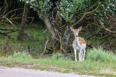 Fallow deer in nature Royalty Free Stock Photo