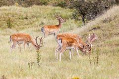 Fallow deer in nature Royalty Free Stock Photography