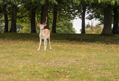 A Fallow deer near the trees Royalty Free Stock Image
