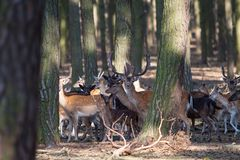 Fallow deer pack. In the forest, hiding between trees for self-protection stock photography