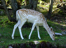 Fallow Deer Within a Park in Quebec, Canada. A fallow deer is feeding on grass within a park in Quebec, Canada Stock Image