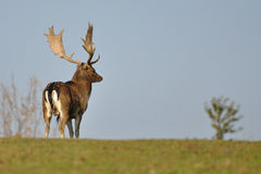 Fallow deer patrol. On green grass Stock Photo