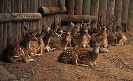 Fallow deer in pen. A herd of fallow deer in a holding pen royalty free stock images