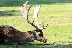 Fallow Deer. Phoenix Park Dublin Stock Photo