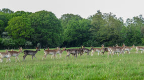 Fallow Deer in The Phoenix Park stock image