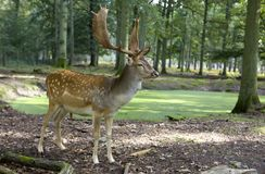 Fallow deer. By the pond in the forest, Hessen Germany royalty free stock images