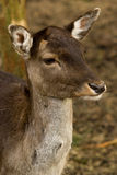 fallow deer portrait Royalty Free Stock Photo