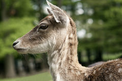 Fallow Deer Portrait Stock Images