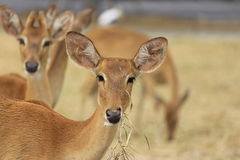 Fallow Deer Portrait Stock Photography