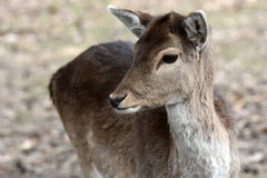 Fallow deer. Portrait of female young fallow deer stock photography