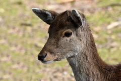Fallow deer. Portrait of female young fallow deer royalty free stock photos