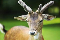 Fallow-deer Stock Photos