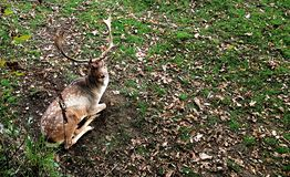Fallow deer at Prideaux Place is thought to be one of the oldest park herds in the country. The herd of fallow deer at Prideaux Place is thought to be one of the royalty free stock photo