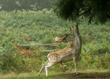 Fallow deer reaching up to eat tree royalty free stock photos