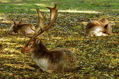 Autumn background. Fallow deer relaxing on a carpet of colored leaves Royalty Free Stock Images