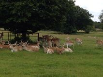 Fallow deer relaxing Stock Images