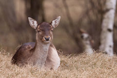 A fallow-deer is resting Stock Photos