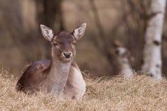 A fallow-deer is resting Stock Photos