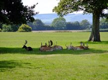 Fallow Deer Resting. Fallow deer lying down in the shade stock images