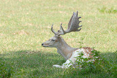 Fallow deer. Resting in the grass Royalty Free Stock Photography