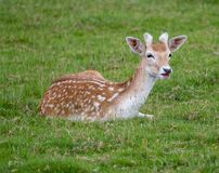 Fallow deer resting on some grass. Young Fallow deer resting on some grass stock photography