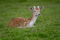 Fallow deer resting on some grass. Young Fallow deer resting on some grass royalty free stock photos