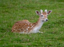 Fallow deer resting on some grass. Young Fallow deer resting on some grass royalty free stock photography