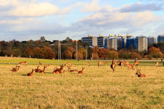 Fallow deer in Richmond Park Royalty Free Stock Image