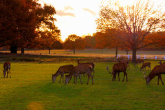 Fallow deer in Richmond Park Royalty Free Stock Photography