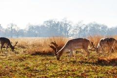 Fallow deer in Richmond Park Stock Photos