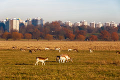 Fallow deer in Richmond Park Royalty Free Stock Photos
