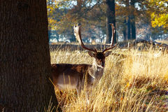 Fallow deer in Richmond Park Stock Images