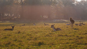 Fallow deer in Richmond Park Stock Image