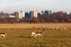 Fallow deer in Richmond Park Royalty Free Stock Photo